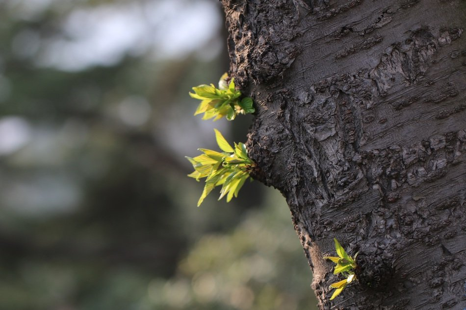 Young green leaves on a tree trunk