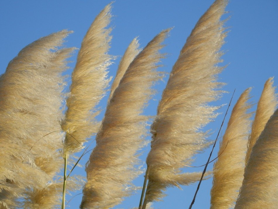 yellow reed against the blue sky