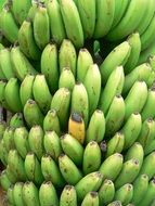 cluster of unripe green bananas