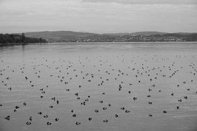 ducks rest in lake black white photo