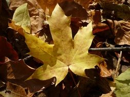yellow dry autumn maple leaf
