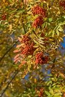 berries of autumn mountain ash close-up