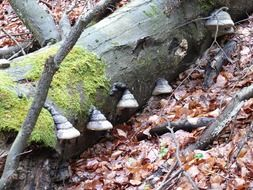 forest tree mushrooms on an old trunk