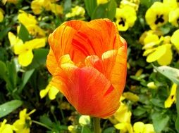 bright orange tulip closeup