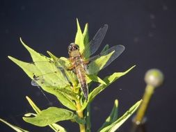 dragonfly on a swamp plant