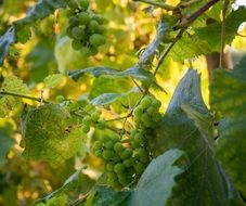 healthy grapes nutrition