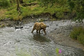 grizzly bear in the creek