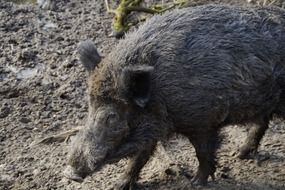 boar in the mud