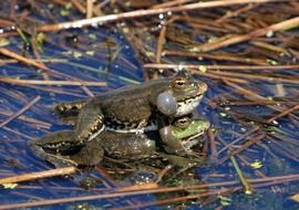 mating of frogs on thin stalks of plants in water