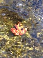 amazing maple leaf