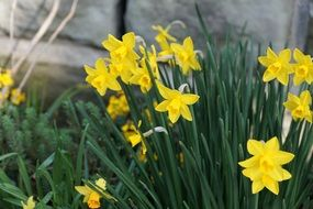 yellow daffodils on flowerbed