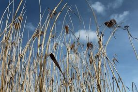 dry reed against a blue sky