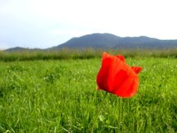 red poppy on the green meadow