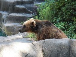 strong brown bear in a wildlife park