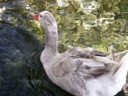 white duck in clear water