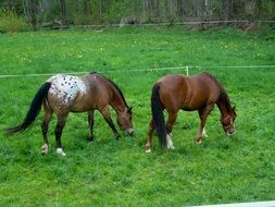 horses graze in a green meadow