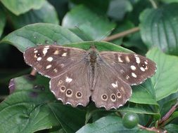 speckled brown butterfly among green leaves
