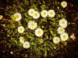 little spring daisies in the meadow