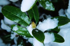 rhododendron leaves in snow