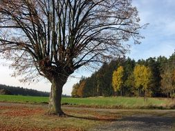 lone leafless tree against a background of an autumn forest