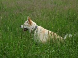 white dog sits on a green meadow