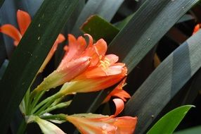 orange flowers among dark green oblong leafs close-up