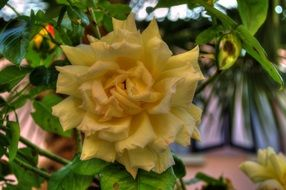 Yellow flower rose bloom plant petal