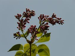 Lilac buds on a branch against the blue sky