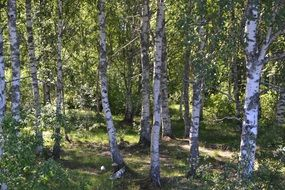 birch trees in a forest in Sweden