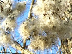 dry fluffy clematis seeds