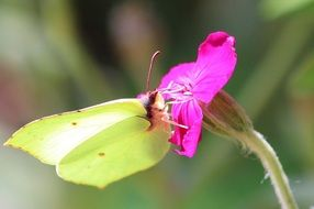 moth on a bright pink flower
