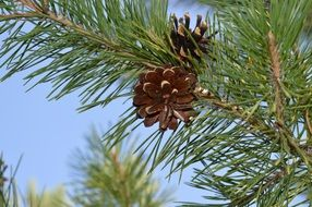 pine cone on green tree branch