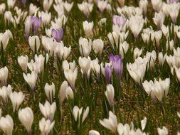 alpine meadow of crocuses