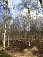 birch grove in the background of the autumn sky