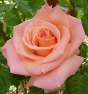 fresh pink rose in garden