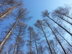 bottom view of the smooth trunks of trees on a background of bright blue sky