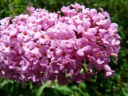 colorful flower of lilac