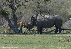 rhino and predator in kruger national park