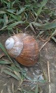 brown snail shell