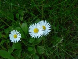 three white daisies in green grass