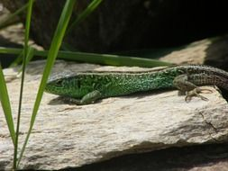 green sand lizard on the rock