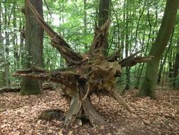 root tree in a forest