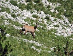chamois in the mountain
