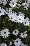 white daisies with purple centers blooming putdoor