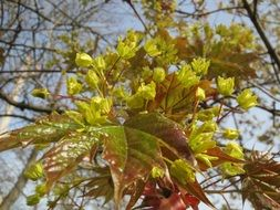 acer platanoides maple tree