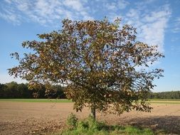 persian walnut in the field