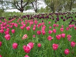 maroon and pink tulips in the garden