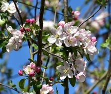 apple tree blossoms at sky