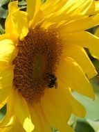bee on young sunflower