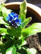 blue decorative forget-me-not in a clay pot